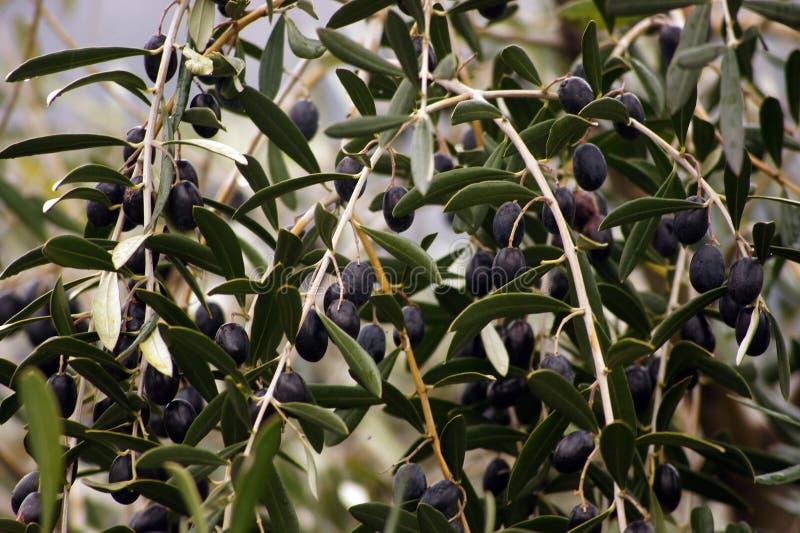 Ελιά-δέντρο κλάδων στοκ εικόνα με δικαίωμα ελεύθερης χρήσης