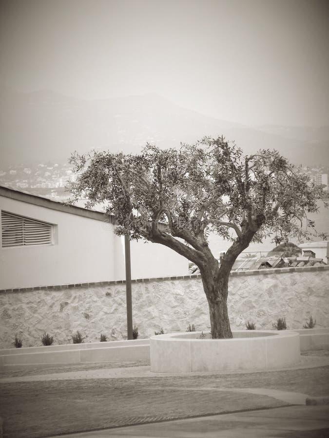 Ελιά στη μέση της πόλης Κάννες Γαλλία γραπτή στοκ φωτογραφία με δικαίωμα ελεύθερης χρήσης