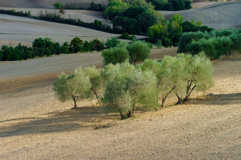 Ελιές στην Τοσκάνη, Ιταλία, χρόνος συγκομιδών, φθινοπωρινός στοκ εικόνες