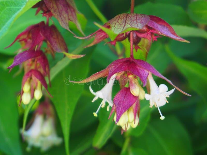 Ελκυστικά και φωτεινά λουλούδια αγιοκλημάτων Himalayan και πράσινο φύλλωμα Άλλα ονόματα Leycesteria Φορμόζα, ανθίζοντας μοσχοκάρυ στοκ φωτογραφία με δικαίωμα ελεύθερης χρήσης