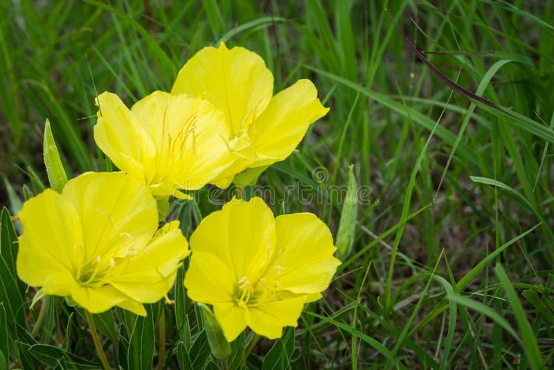 Ελκυστικά Primrose βραδιού του Μισσούρι wildflowers στοκ εικόνα