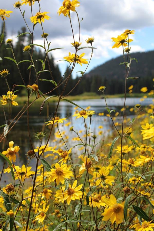 Ελκυστικός ηλίανθος Goldeneye στοκ φωτογραφία με δικαίωμα ελεύθερης χρήσης