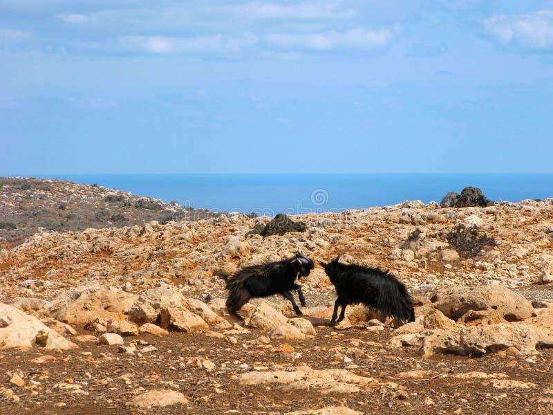 Ελλάδα, άγρια Κρήτη, πάλη αιγών στοκ φωτογραφία με δικαίωμα ελεύθερης χρήσης