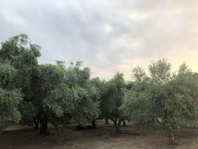 Ελληνικά δέντρα Epirus ελαιολάδου στοκ εικόνες