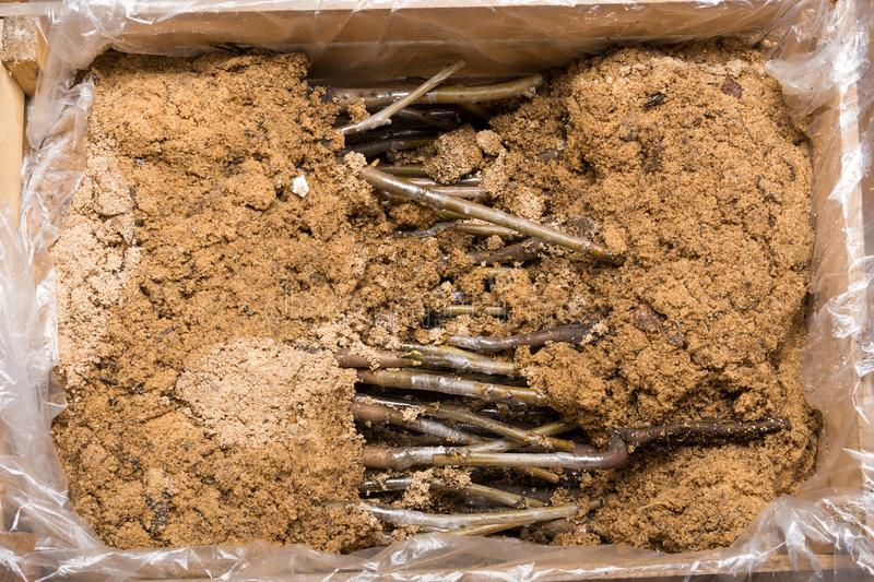 Εμβολιασμός της ποικίλης κινηματογράφησης σε πρώτο πλάνο σποροφύτων ξύλων καρυδιάς Η έννοια ο στοκ εικόνα με δικαίωμα ελεύθερης χρήσης