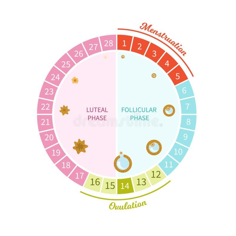 Εμμηνορροϊκό διάνυσμα κύκλων απεικόνιση αποθεμάτων