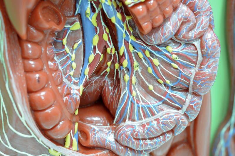 λεμφατικό σύστημα στοκ φωτογραφία