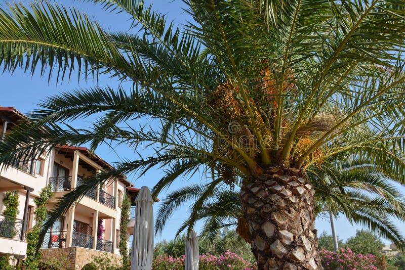 ενάντια στα μπλε σαφή γαλλικά δέντρα της Ταϊτή ουρανού της Πολυνησίας φοινικών στοκ εικόνες με δικαίωμα ελεύθερης χρήσης