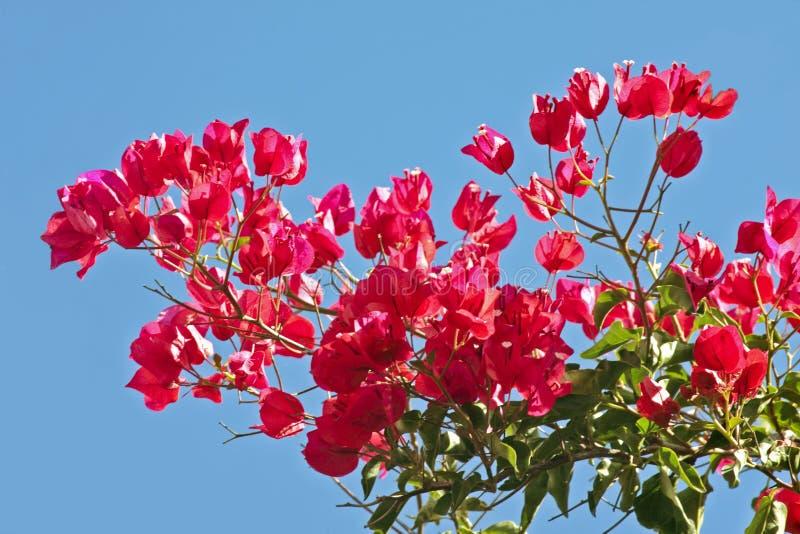 ενάντια στον μπλε ουρανό bouga στοκ φωτογραφία με δικαίωμα ελεύθερης χρήσης