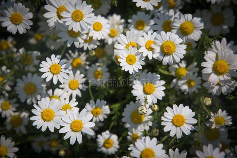ενάντια στον μπλε ουρανό λουλουδιών μαργαριτών κίτρινο στοκ εικόνα με δικαίωμα ελεύθερης χρήσης