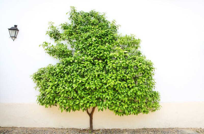 ενάντια στο λευκό τοίχων δέντρων στοκ φωτογραφίες