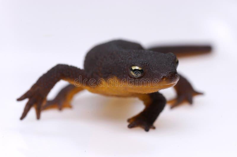 ενάντια στο λευκό newt στοκ φωτογραφίες