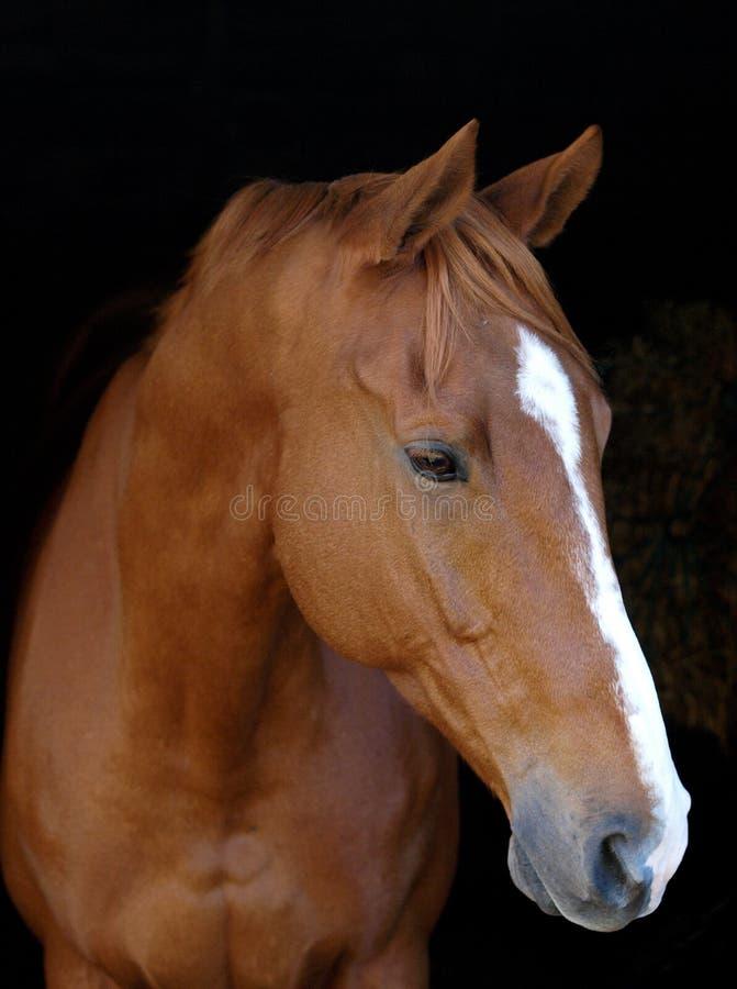 ενάντια στο μαύρο άλογο κάστανων ανασκόπησης στοκ φωτογραφία