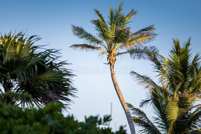 ενάντια στο μπλε δέντρο ουρανού φοινικών στοκ εικόνες