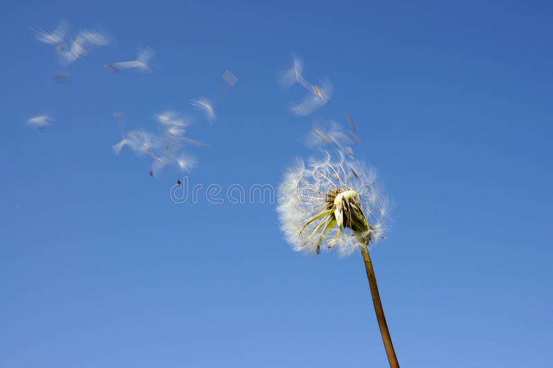 ενάντια στο μπλε ουρανό blowball στοκ φωτογραφίες με δικαίωμα ελεύθερης χρήσης