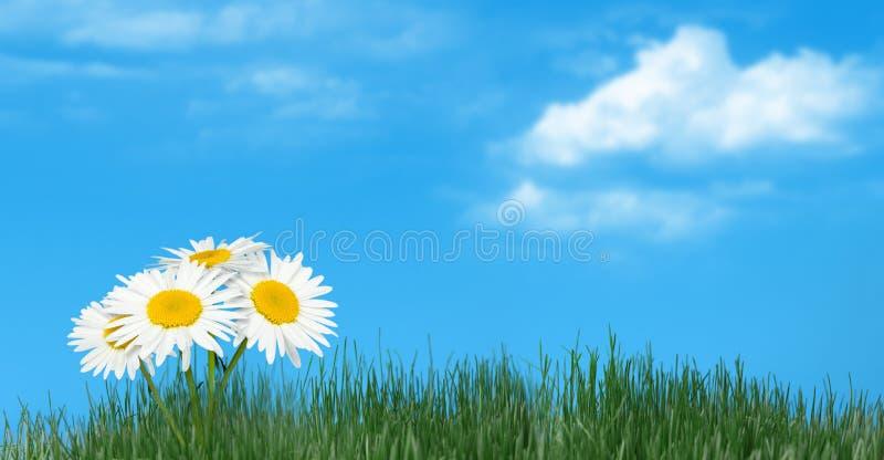 Download ενάντια στο φυσικό ουρανό χλόης Camomiles Στοκ Εικόνα - εικόνα από άνθισμα, φύση: 22799365
