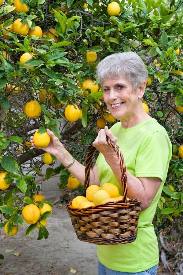 Ενήλικα λεμόνια επιλογής από το δέντρο στοκ φωτογραφίες με δικαίωμα ελεύθερης χρήσης