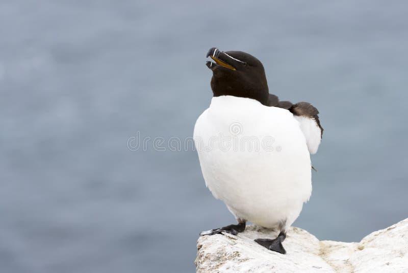 Ενήλικα, χτυπώντας φτερά torda Alca Razorbill στο βράχο που κοιτάζει πέρα από τον ωκεανό στοκ εικόνες
