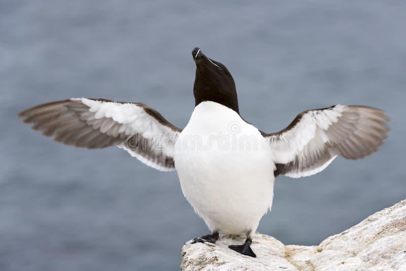 Ενήλικα, χτυπώντας φτερά torda Alca Razorbill στο βράχο που κοιτάζει πέρα από τον ωκεανό στοκ εικόνες με δικαίωμα ελεύθερης χρήσης