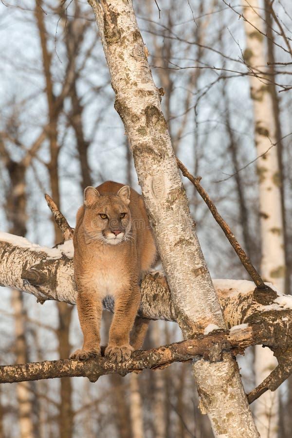 Ενήλικες θηλυκές στάσεις concolor Cougar Puma στους κλάδους δέντρων στοκ φωτογραφίες