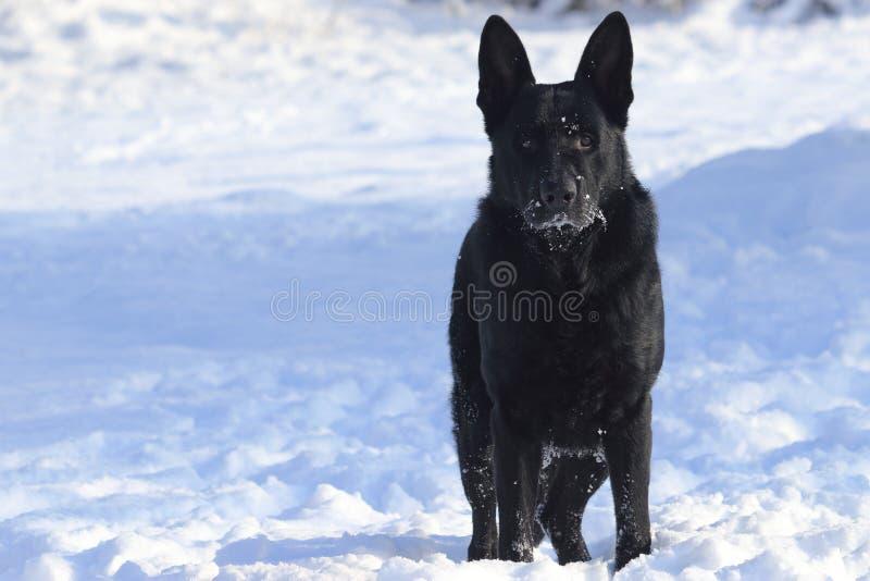 Ενήλικες νέες μεγάλες μαύρες στάσεις ποιμένων σκυλιών γερμανικές στο χιόνι Το κεφάλι του, snout ρυγχών, μουστάκι είναι ντυμένο με στοκ φωτογραφίες