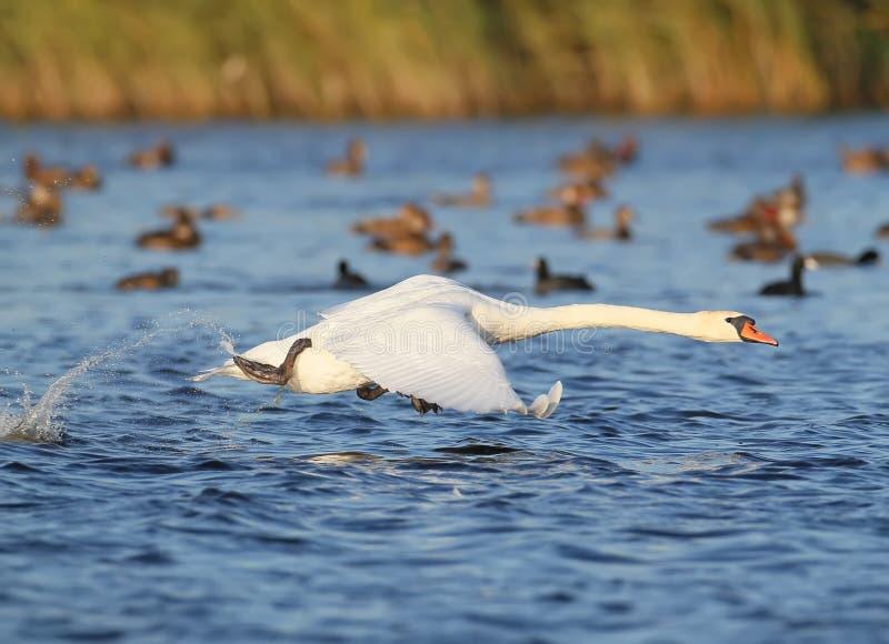 Ενήλικη απογείωση κύκνων από το νερό με έναν παφλασμό στοκ φωτογραφίες με δικαίωμα ελεύθερης χρήσης