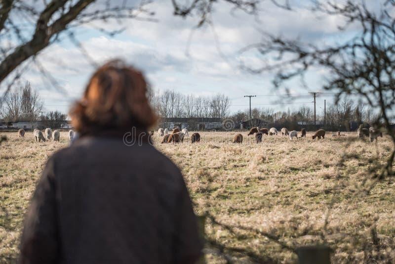 Ενήλικη γυναίκα που βλέπει ένα κοπάδι των προβατοκαμήλων που βλέπουν σε ένα λιβάδι στοκ εικόνα