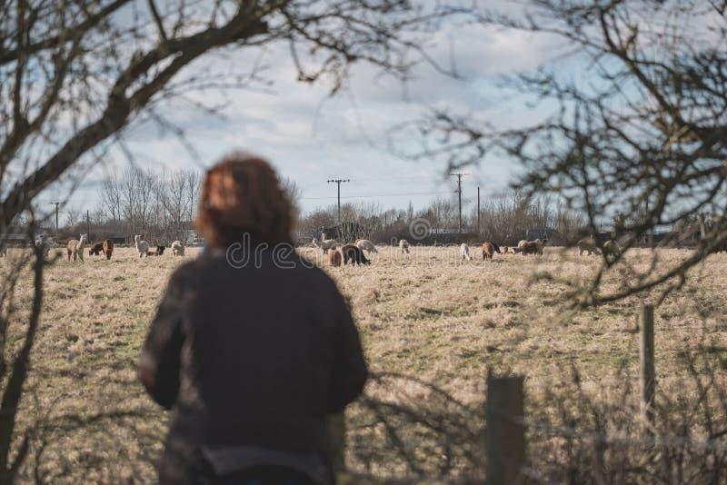 Ενήλικη γυναίκα που βλέπει ένα κοπάδι των προβατοκαμήλων που βλέπουν σε ένα λιβάδι στοκ εικόνα με δικαίωμα ελεύθερης χρήσης