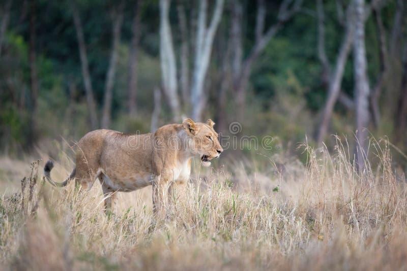 Ενήλικη λιονταρίνα που στέκεται σε ένα καθάρισμα στο Masai Mara στοκ φωτογραφίες