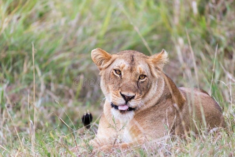 Ενήλικη λιονταρίνα restinng στη χλόη του Masai Mara στοκ εικόνες