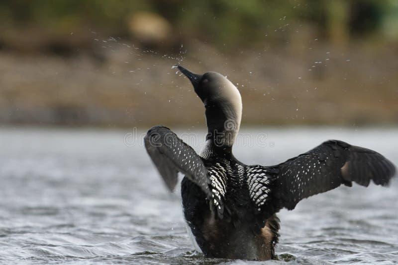 Ενήλικος ειρηνικός χωριάτης ή ειρηνικό pacifica Gavia δυτών, φτέρωμα αναπαραγωγής, χτυπώντας φτερά στο νερό στοκ εικόνες με δικαίωμα ελεύθερης χρήσης