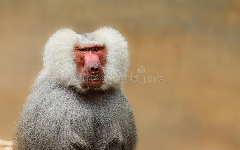 Ενήλικος παλαιός baboon πίθηκος Pavian, παρατήρηση hamadryas Papio κοιτάζοντας επίμονα και άγρυπνος εξετάζοντας τη κάμερα με το κ στοκ φωτογραφία με δικαίωμα ελεύθερης χρήσης