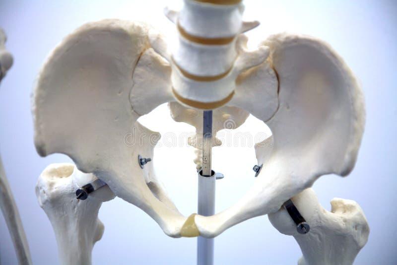 ενήλικος σκελετός στοκ εικόνες με δικαίωμα ελεύθερης χρήσης