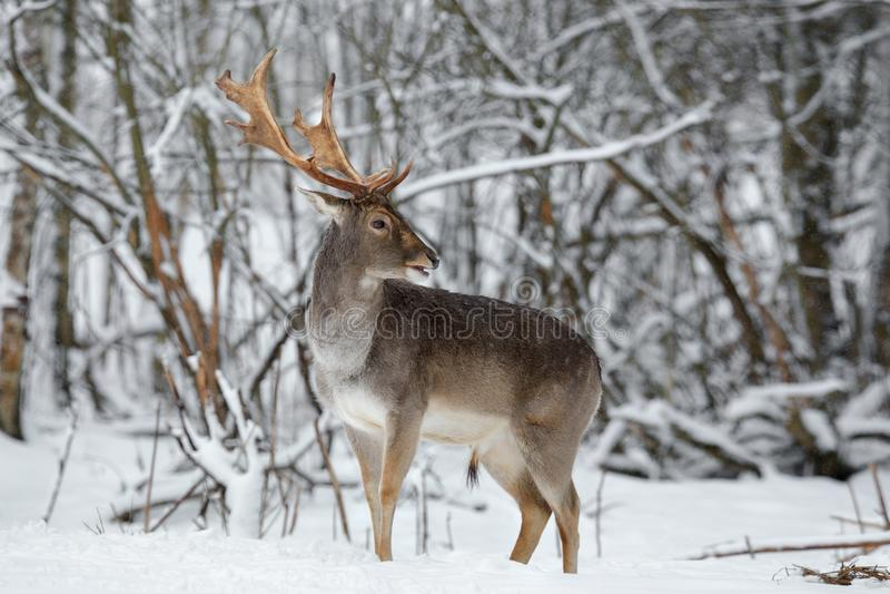 Ενήλικος στενός επάνω Buck ελαφιών αγραναπαύσεων Μεγαλοπρεπή ισχυρά ελάφια αγραναπαύσεων, dama Dama, στη σκηνή χειμερινού ForestW στοκ φωτογραφία