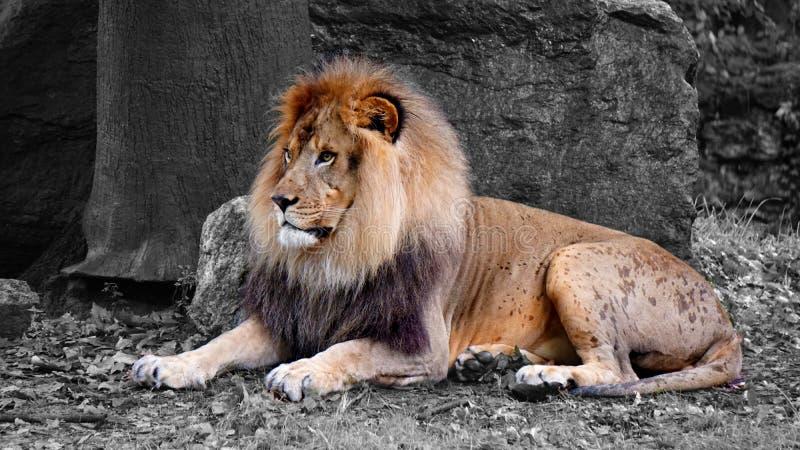 Ενήλικο αρσενικό λιοντάρι, βασιλιάς λιονταριών στοκ εικόνες