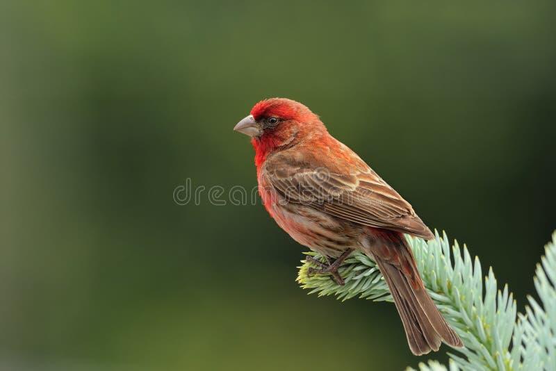 Ενήλικο αρσενικό Finch σπιτιών στοκ φωτογραφία με δικαίωμα ελεύθερης χρήσης