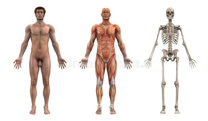 ενήλικο μπροστινό αρσενικό ανατομίας διανυσματική απεικόνιση