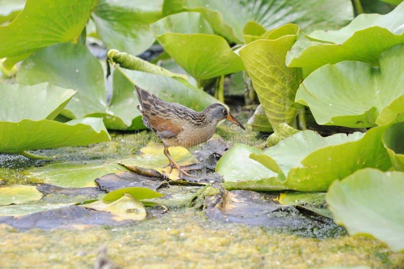 Ενήλικο πουλί ραγών της Βιρτζίνια στοκ εικόνες