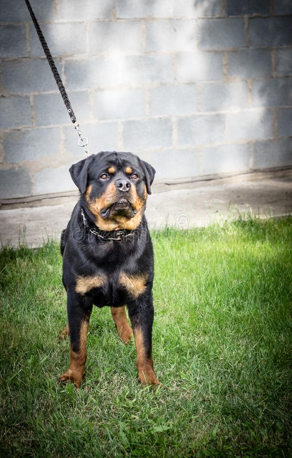 Ενήλικο σκυλί Φυλή Rottweiler Κουτάβια στοκ φωτογραφίες με δικαίωμα ελεύθερης χρήσης