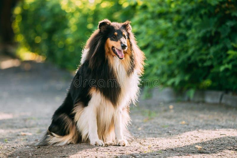 Ενήλικο σκυλί Lassie κόλλεϊ Tricolor σκωτσέζικο τραχύ μακρυμάλλες αγγλικό στοκ εικόνα με δικαίωμα ελεύθερης χρήσης