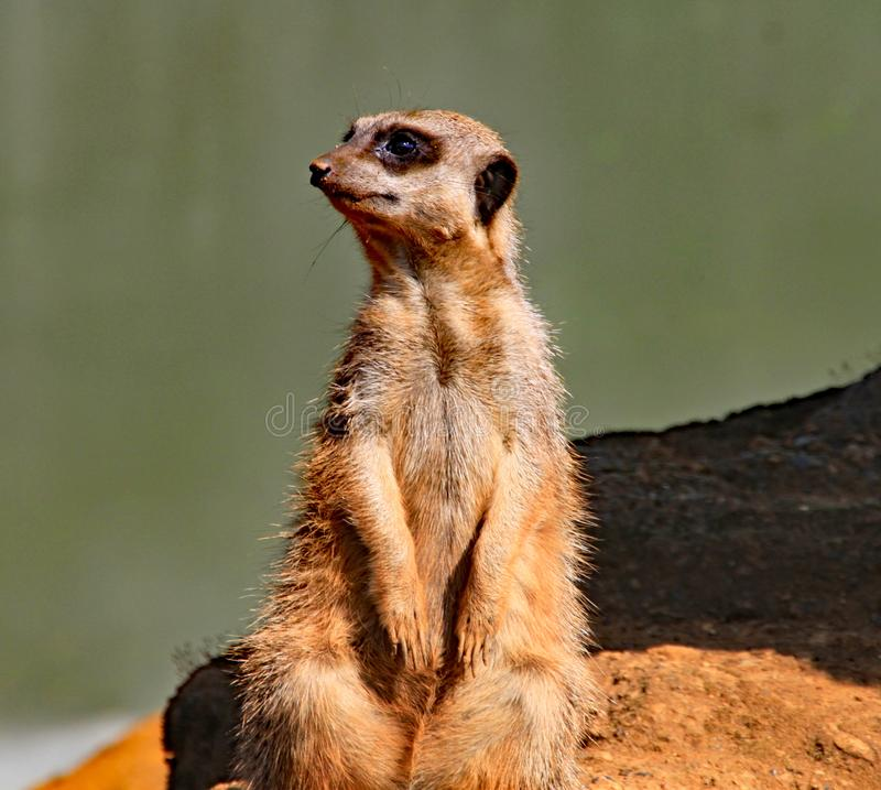 Ενήλικο meerkat που στέκεται σε έναν βράχο, που στον ήλιο βραδιού στοκ φωτογραφία με δικαίωμα ελεύθερης χρήσης