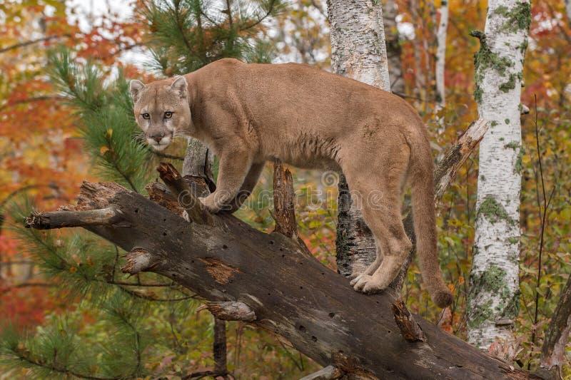 Ενήλικα αρσενικά έντονα φω'τα Cougar (concolor Puma) από το κατεβασμένο δέντρο στοκ εικόνες
