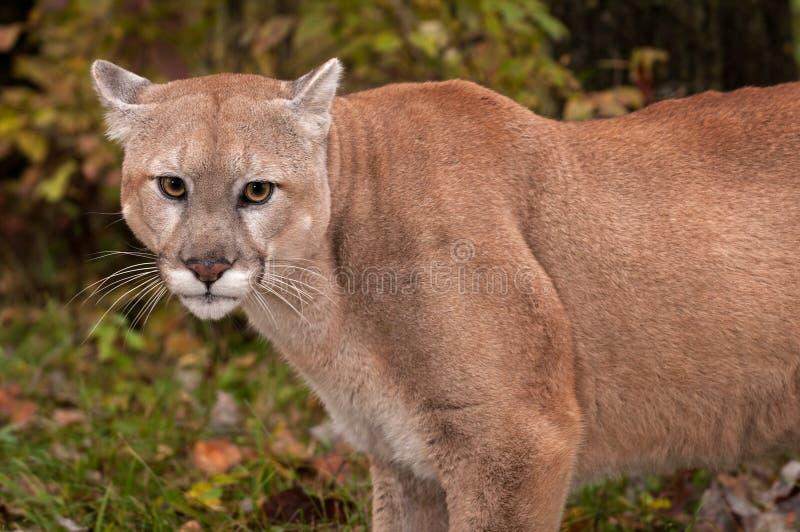 Ενήλικα αρσενικά στενά επάνω αυτιά concolor Cougar Puma πίσω στοκ εικόνα με δικαίωμα ελεύθερης χρήσης