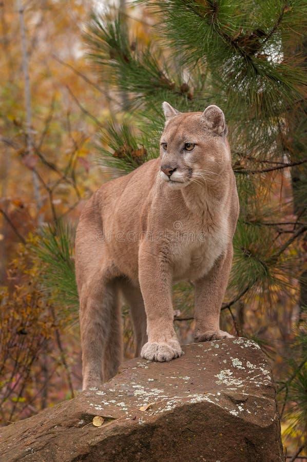 Ενήλικες αρσενικές στάσεις concolor Cougar Puma επάνω στο βράχο στοκ εικόνα