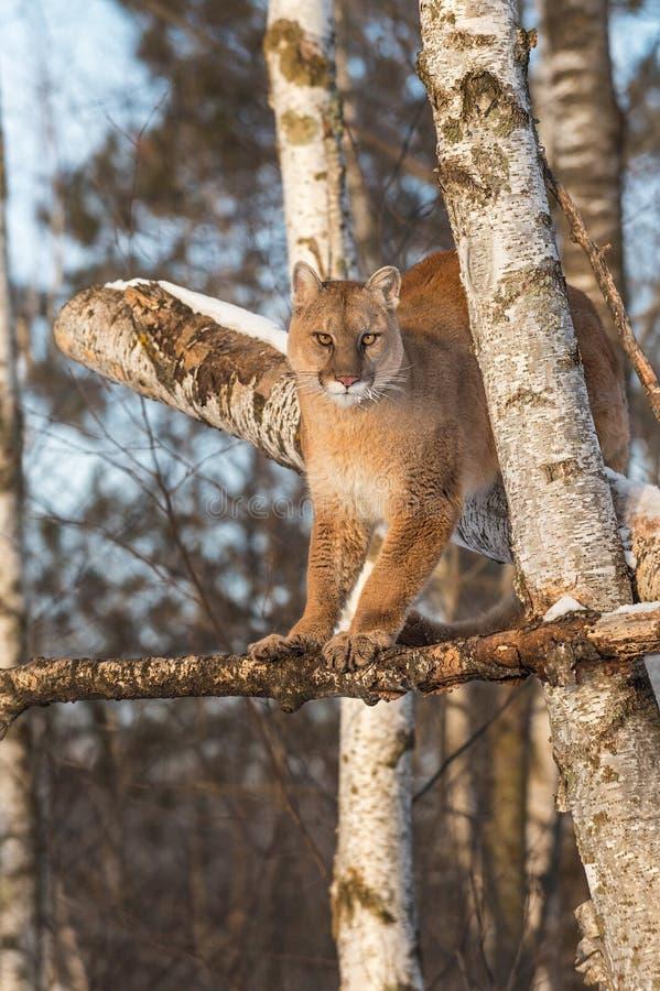 Ενήλικες θηλυκές στάσεις concolor Cougar Puma υψηλές στα δέντρα στοκ εικόνες με δικαίωμα ελεύθερης χρήσης