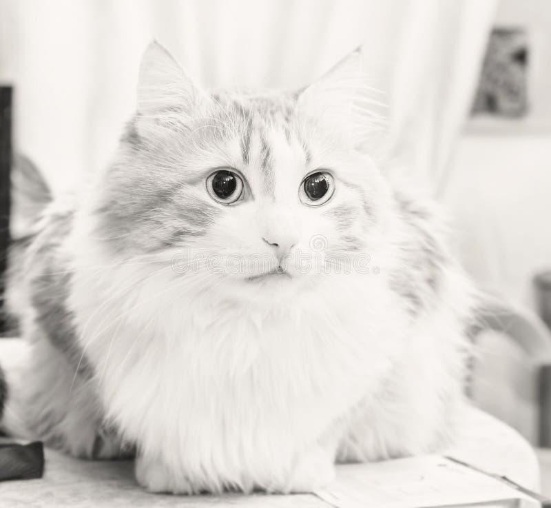 Ενήλικη γάτα σε γραπτό στοκ φωτογραφία
