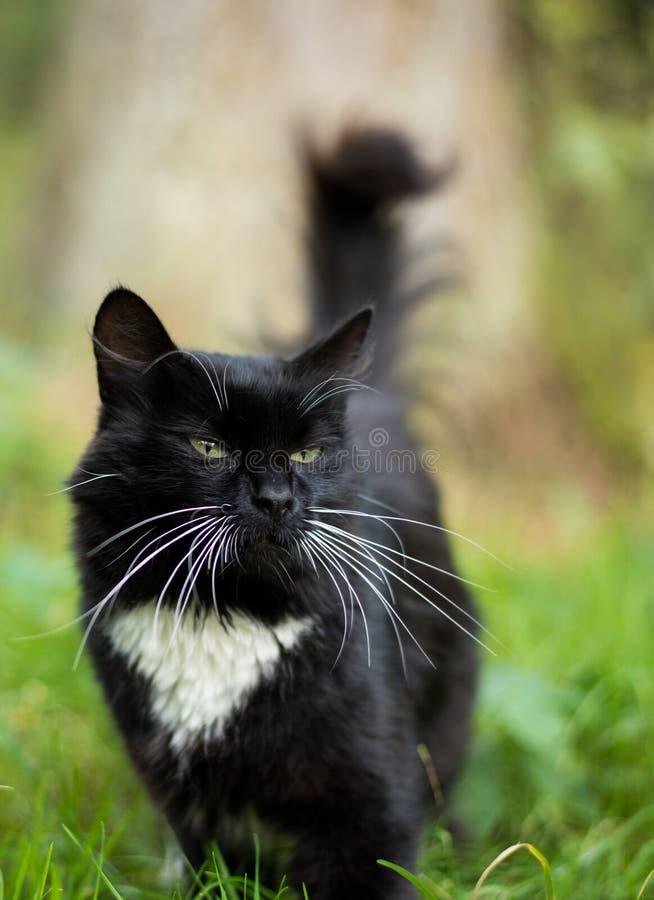 Ενήλικη γραπτή γάτα στοκ φωτογραφίες