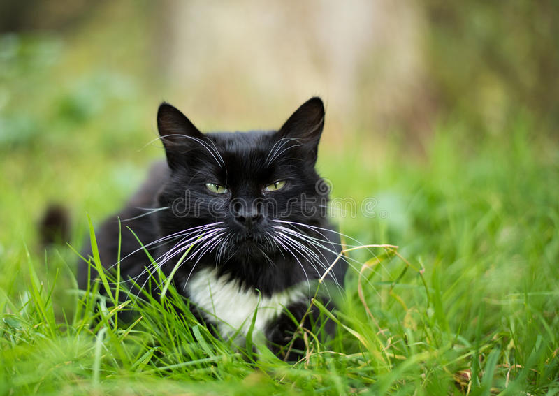 Ενήλικη γραπτή γάτα στοκ φωτογραφία με δικαίωμα ελεύθερης χρήσης