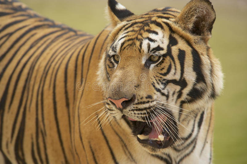 Ενήλικη ινδοκινέζικη τίγρη στοκ φωτογραφία