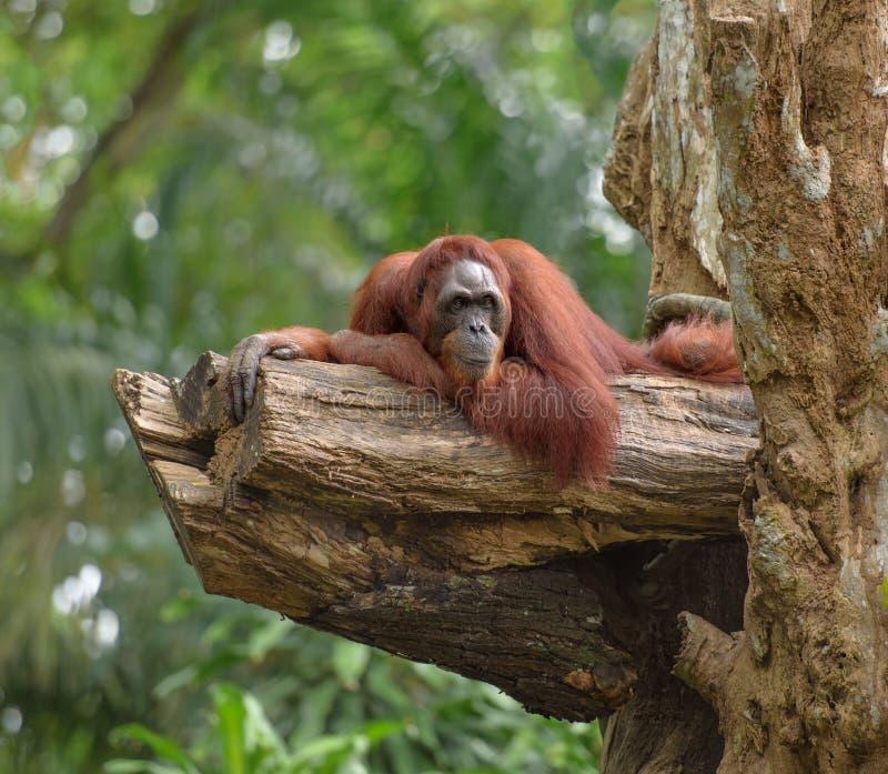 Ενήλικος orangutan που στηρίζεται στον κορμό δέντρων στοκ φωτογραφίες με δικαίωμα ελεύθερης χρήσης